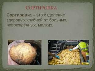 СОРТИРОВКА Сортировка – это отделение здоровых клубней от больных, повреждённ