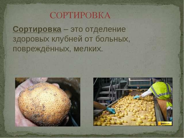 СОРТИРОВКА Сортировка – это отделение здоровых клубней от больных, повреждённ...