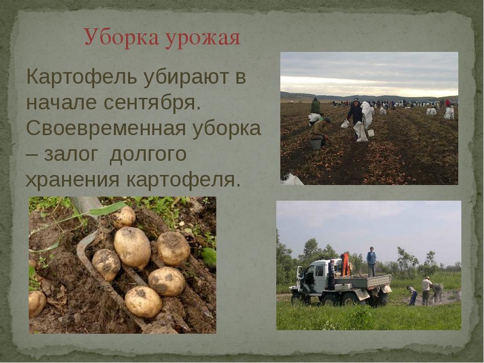 Уборка урожая Картофель убирают в начале сентября. Своевременная уборка – зал...
