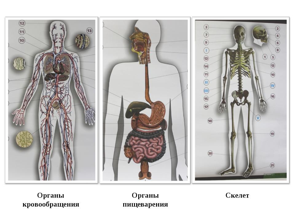 Органы кровообращения Органы пищеварения Скелет