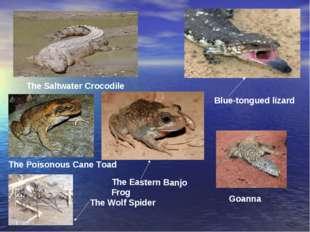 The Saltwater Crocodile Blue-tongued lizard Goanna The Eastern Banjo Frog The