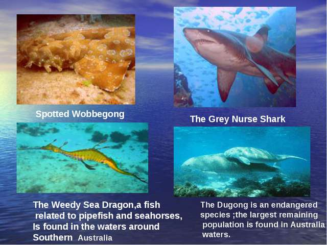 Spotted Wobbegong The Grey Nurse Shark The Weedy Sea Dragon,a fish related to...