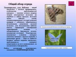 Общий обзор отряда Чешуекрылые, или бабочки - отряд насекомых с полным превра