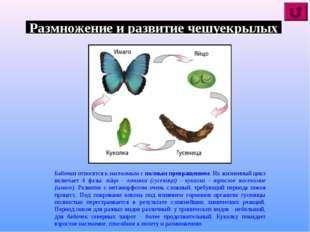 Размножение и развитие чешуекрылых Бабочки относятся к насекомым с полным пре