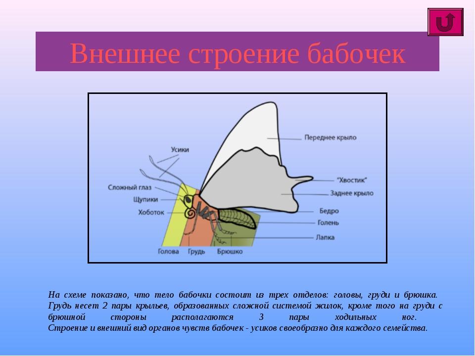 Внешнее строение бабочек На схеме показано, что тело бабочки состоит из трех...