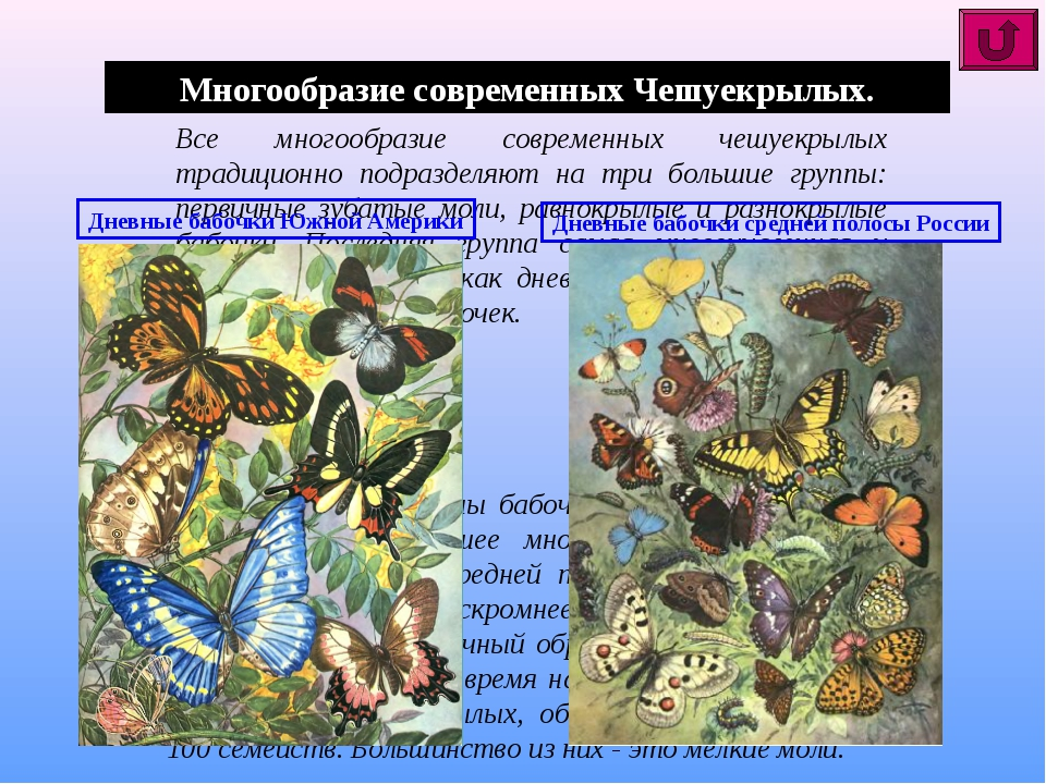 Многообразие современных Чешуекрылых. Все многообразие современных чешуекрылы...