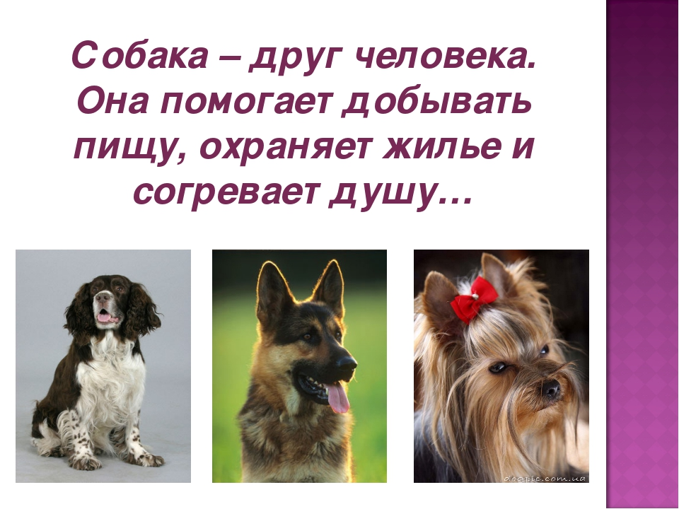 Собака – друг человека. Она помогает добывать пищу, охраняет жилье и согревае...