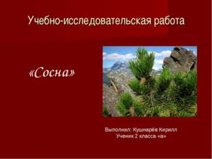 Учебно-исследовательская работа «Сосна» Выполнил: Кушнарёв Кирилл Ученик 2 кл