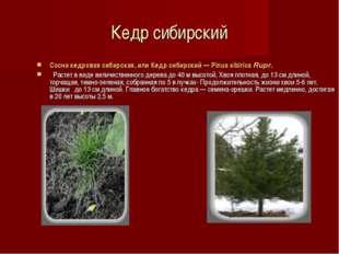 Кедр сибирский Сосна кедровая сибирская, или Кедр сибирский — Pinus sibirica