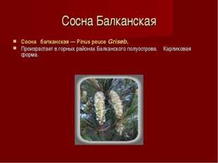 Сосна Балканская Сосна балканская — Pinus peuce Griseb. Произрастает в горны