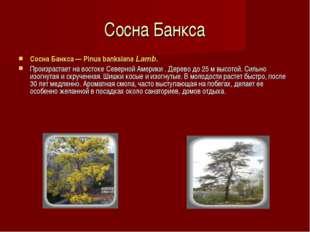 Сосна Банкса Сосна Банкса — Pinus banksiana Lamb. Произрастает на востоке Сев