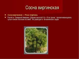 Сосна виргинская Сосна виргинская — Pinus virginiana. Растёт в Северной Аме