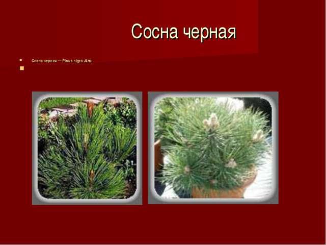 Сосна черная Сосна черная — Pinus nigra Am.