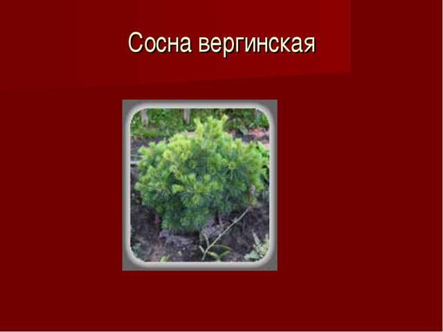 Сосна вергинская