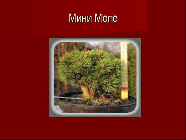 Мини Мопс