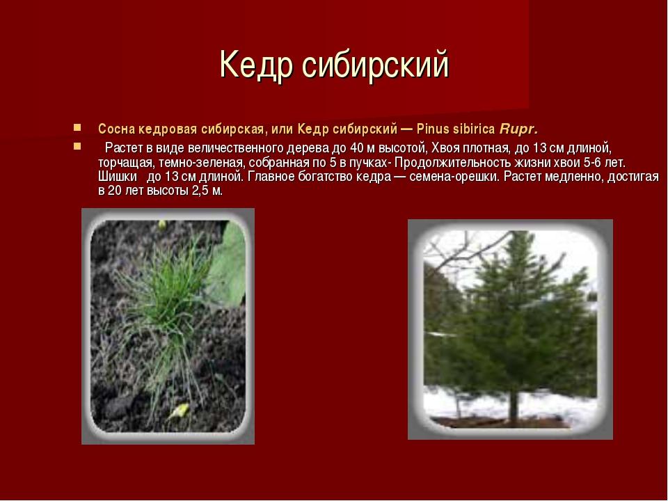 Кедр сибирский Сосна кедровая сибирская, или Кедр сибирский — Pinus sibirica...