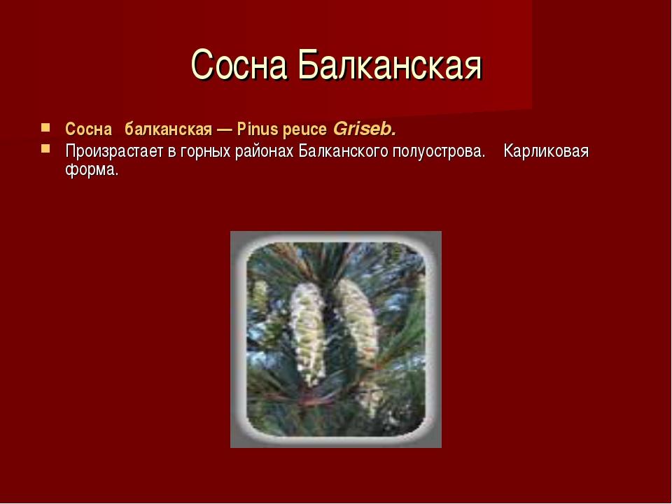 Сосна Балканская Сосна балканская — Pinus peuce Griseb. Произрастает в горны...