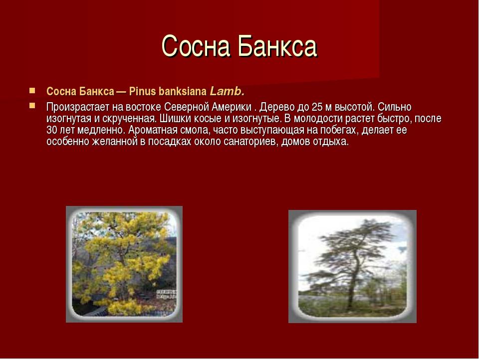 Сосна Банкса Сосна Банкса — Pinus banksiana Lamb. Произрастает на востоке Сев...