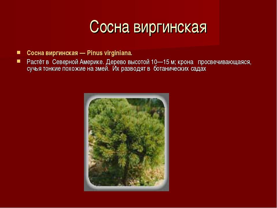 Сосна виргинская Сосна виргинская — Pinus virginiana. Растёт в Северной Аме...
