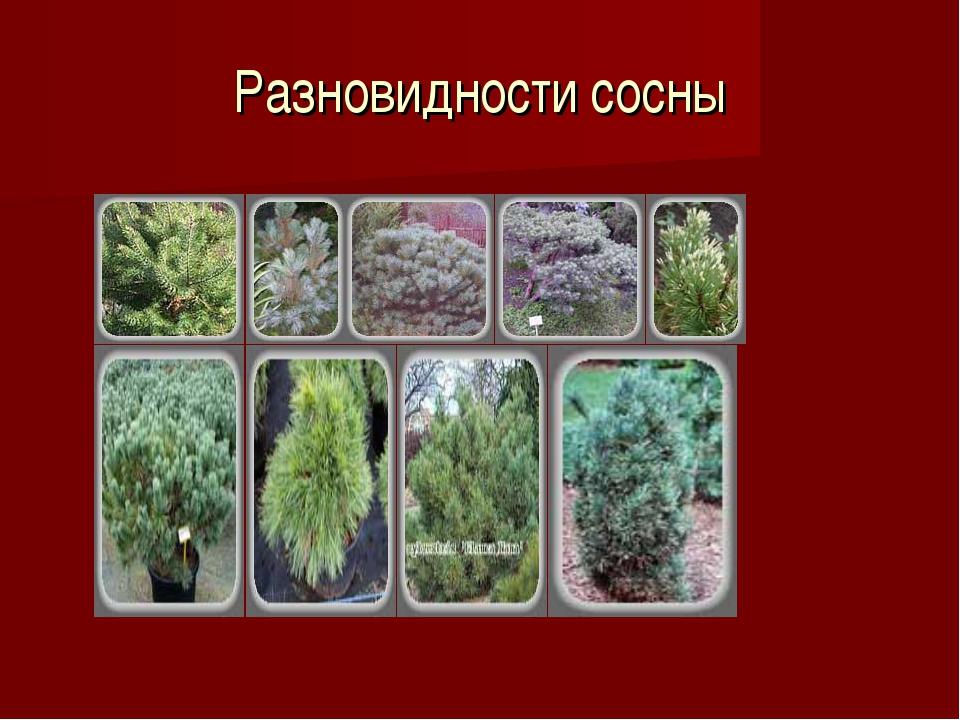Разновидности сосны