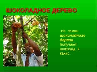 ШОКОЛАДНОЕ ДЕРЕВО Из семян шоколадного дерева получают шоколад и какао.