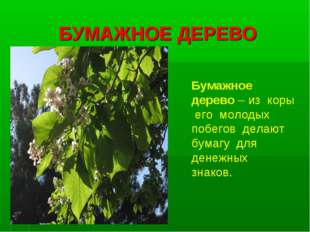 БУМАЖНОЕ ДЕРЕВО Бумажное дерево – из коры его молодых побегов делают бумагу д