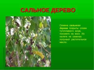 САЛЬНОЕ ДЕРЕВО Семена сального дерева покрыты слоем тугоплавкого жира, похоже