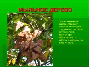 МЫЛЬНОЕ ДЕРЕВО Плоды мыльного дерева содержат сложные химические соединения,