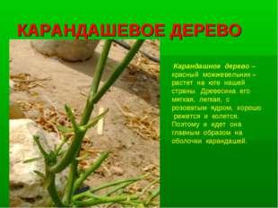 КАРАНДАШЕВОЕ ДЕРЕВО Карандашное дерево – красный можжевельник – растет на юге