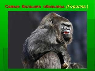 Самые большие обезьяны. (Горилла )
