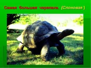 Самая большая черепаха. (Слоновая )