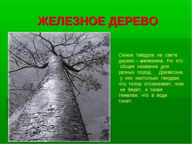 ЖЕЛЕЗНОЕ ДЕРЕВО Самое твёрдое на свете дерево – железное. Но это общее назван...