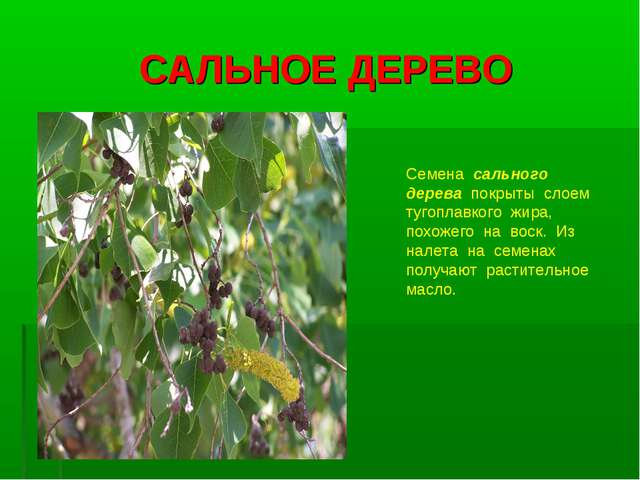 САЛЬНОЕ ДЕРЕВО Семена сального дерева покрыты слоем тугоплавкого жира, похоже...