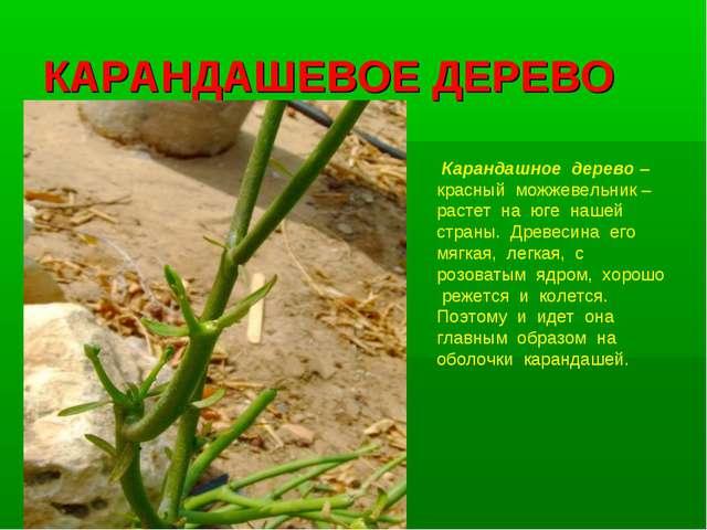 КАРАНДАШЕВОЕ ДЕРЕВО Карандашное дерево – красный можжевельник – растет на юге...