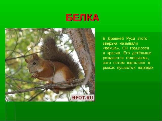 БЕЛКА В Древней Руси этого зверька называли «векша». Он грациозен и красив. Е...