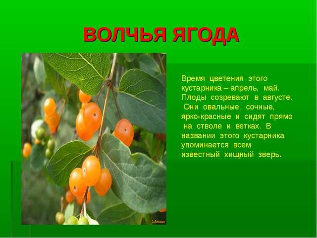 ВОЛЧЬЯ ЯГОДА Время цветения этого кустарника – апрель, май. Плоды созревают в...
