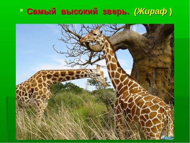 Самый высокий зверь. (Жираф )