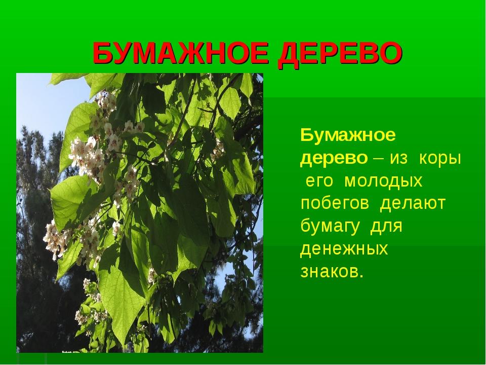 БУМАЖНОЕ ДЕРЕВО Бумажное дерево – из коры его молодых побегов делают бумагу д...