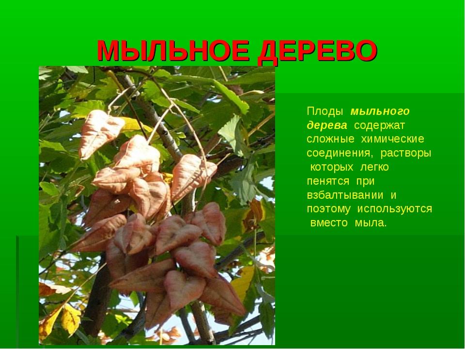 МЫЛЬНОЕ ДЕРЕВО Плоды мыльного дерева содержат сложные химические соединения,...