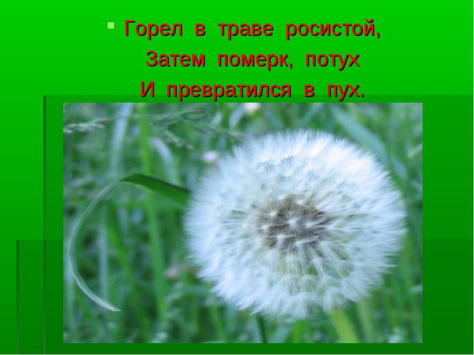 Горел в траве росистой, Затем померк, потух И превратился в пух.