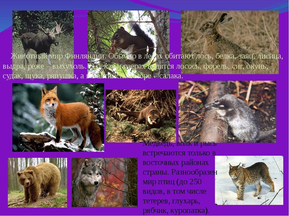 Животный мир Финляндии. Обычно в лесах обитают лось, белка, заяц, лисица, вы...