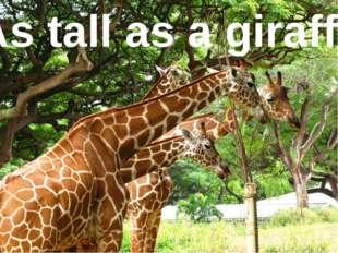As tall as ... As tall as a giraffe