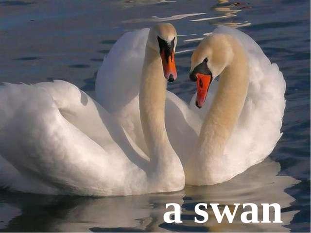 a swan
