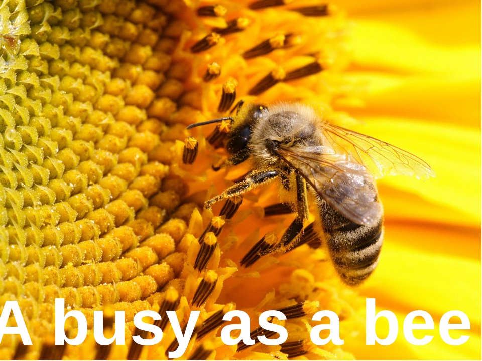 A busy as ... A busy as a bee