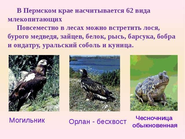 В Пермском крае насчитывается 62 вида млекопитающих Повсеместно в лесах можно...