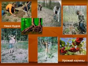 Наши будни Урожай калины