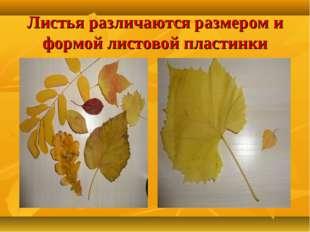 Листья различаются размером и формой листовой пластинки