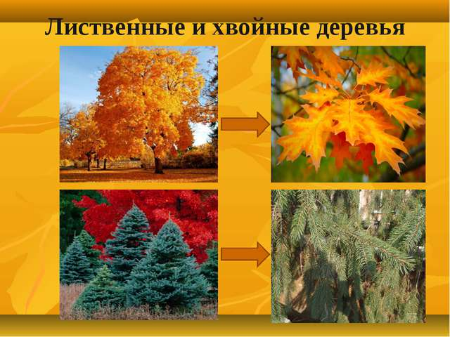 Лиственные и хвойные деревья