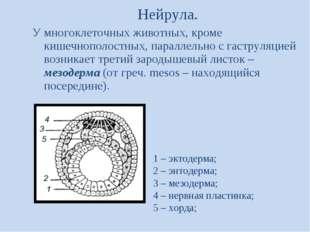Нейрула. У многоклеточных животных, кроме кишечнополостных, параллельно с гас