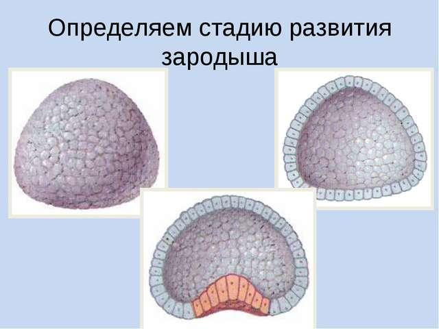 Определяем стадию развития зародыша